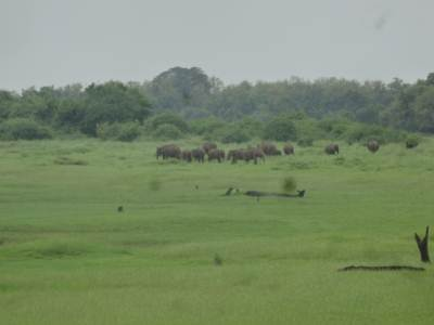 The herd we saw from the road inside Minneriya