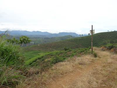 The paths that run through tea estates