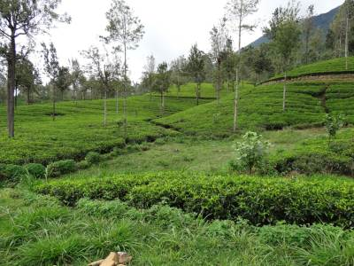 Lush green tea bushes