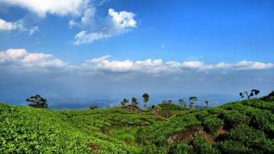landscape of the tea estate