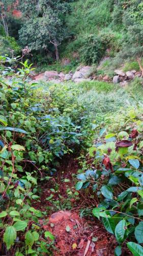 Getting down through the tea bushes and Mana patch. The foot pathway is unclear due to growth of bushes