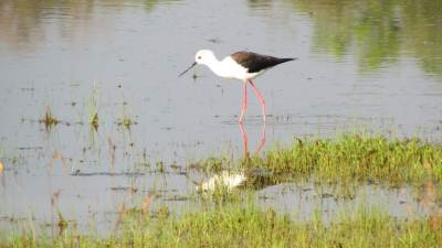 Black winged stilt looking for a prey.