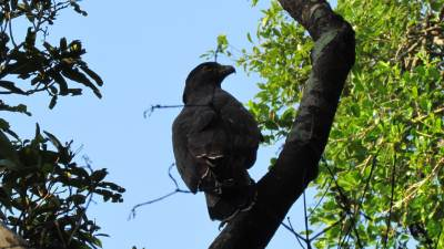 The Crested Serpent Eagle