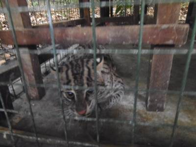 He was playful but his wife was not. And I got the chance to play with a FISHING CAT other than my Home cats…………..