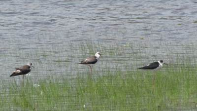 A group of black winged stilts