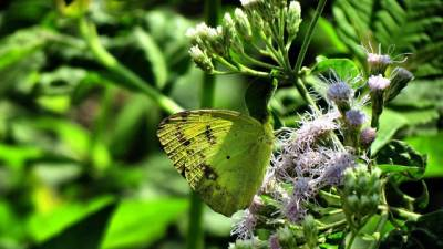 yellowish butterfly