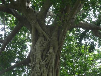 Giant Nuga Tree providing the shade