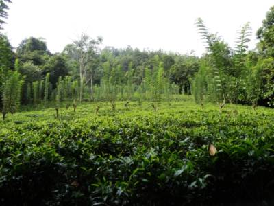 Tea plantations at the edge of the forest