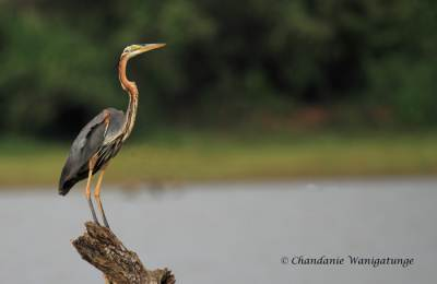 A motionless purple heron