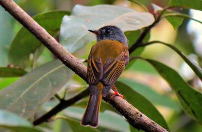 the female Grey-headed canary Flycatcher