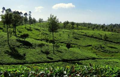 lovely tea fields