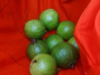 Juicy guava plucked by Vajira