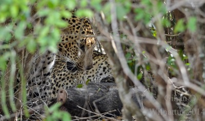 Two leopards'…
