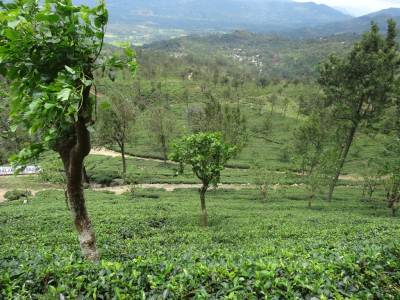 Steep slope towards the tea estate