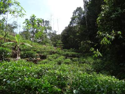 The path is not visible due to tea bushes but walk along at the edge