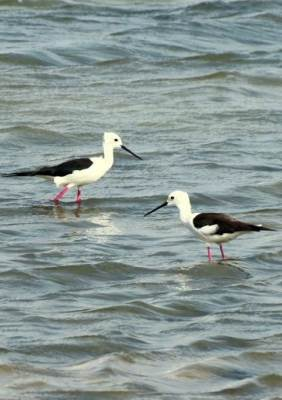 Black Winged Stilt..