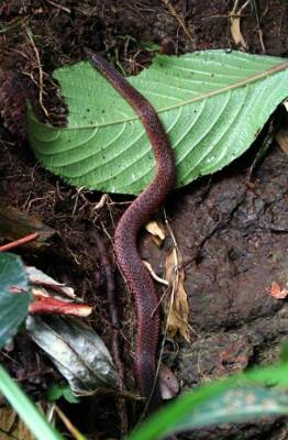 Common Rough-sided Snake