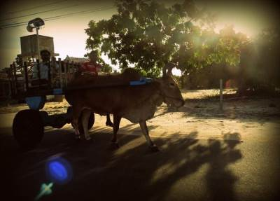 bullock cart at thalei mannar