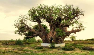 intresting biobab tree  found close to talaimannar rd