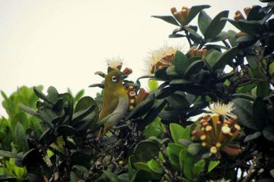 sri lankan white eye