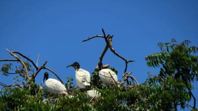 black headed ibis nesting