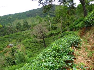 The Tea Estate