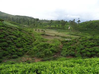 Not a healthy looking tea estate