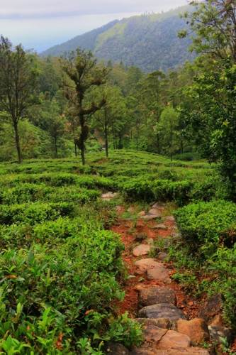 Descends through the tea estate-We followed short cuts