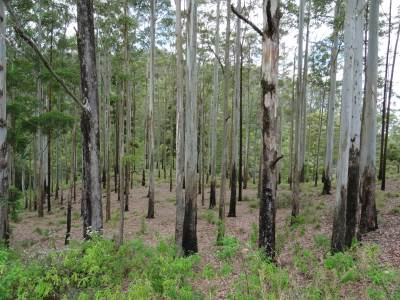 Turpentine forest
