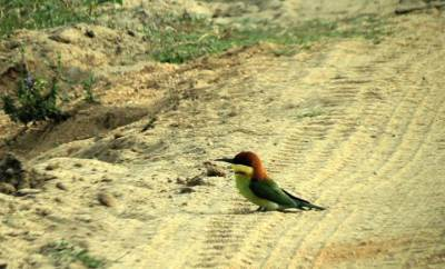chest nut headed bee eater