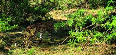 glimpse of a leopard