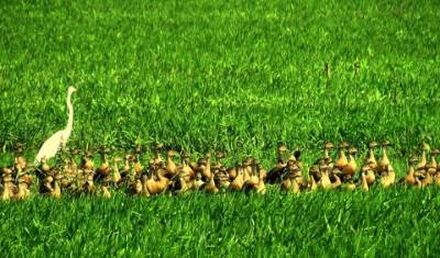 lot of ducks  = godak