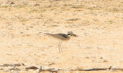 Great Thick-knee (Great snove)
