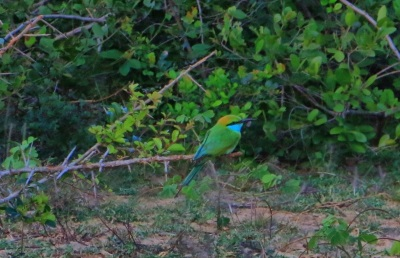 (Little) Green Bee Eater