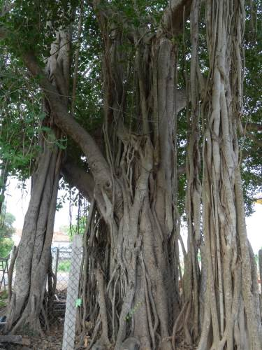 Another common tree found in Jaffna