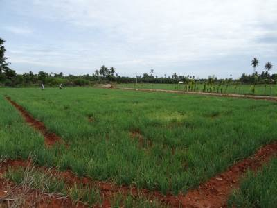Famous Jaffna onion fields