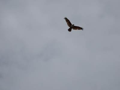 Brahminy Kite on the prowl