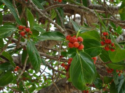 Ripe Nuga fruits, favored by birds and squirrels