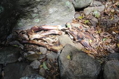 Bones of a Sambar Deer. Hunters were here for about 2-3 days ago