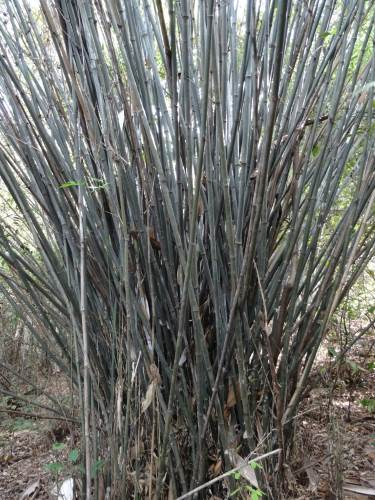 Green bamboo, very useful for the villagers but not possible to cut them now they're part of the reserve