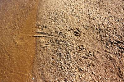 Tail mark of Crocodile