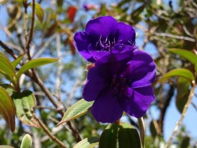Maha Bovitiya, a sexy and deep purple, can't even think it's an invasive plant