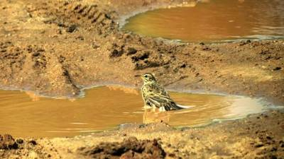 Paddyfield Pipit having a mud bath