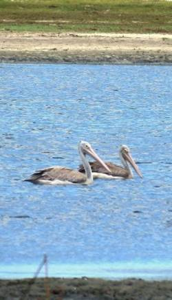 Spot-billed Pelicans