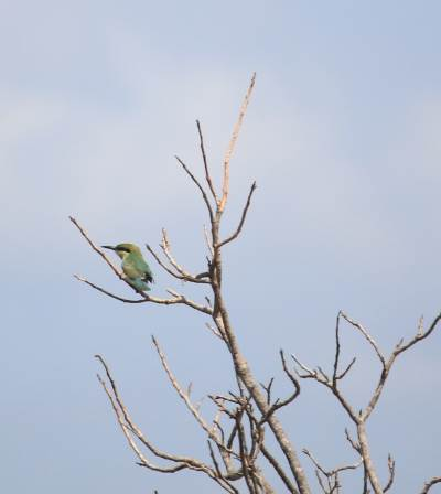 Most commonest-Green Bee-eater