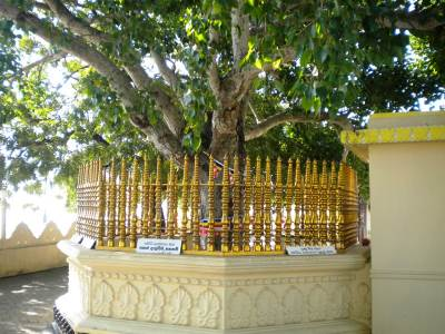 BO TREE OF THE TEMPLE