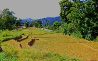 Through paddy fields